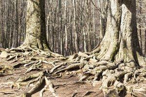 Big trees roots