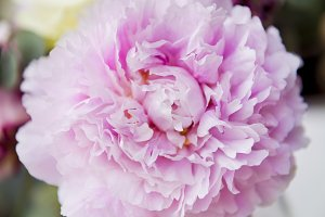 Closeup Fresh Real Pink Carnation