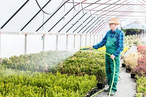 Senior gardener watering plants in a greenhouse.