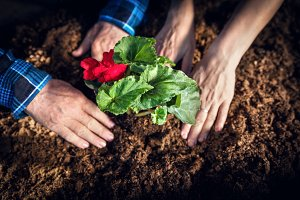 Gardeners planting flowers. Hands close-up