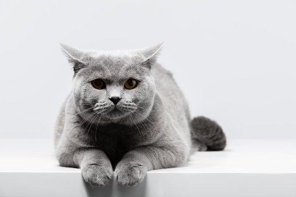 British Shorthair Cat Lying On White Table High Quality Animal