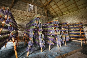 Dried bunches of lavender hanging on wooden ladders