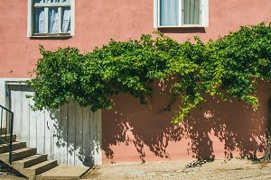 Pink wall with grape tree