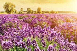 Lavender flower field landscape.