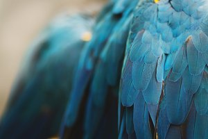Blue Feathers - South American Macaw