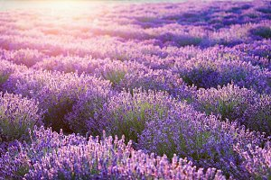 Lavender flower field at sunset.