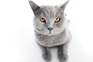 British Shorthair cat isolated on white. Lying