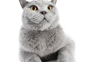 British Shorthair cat isolated on white. Wide angle