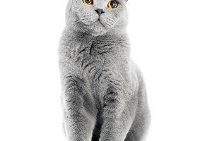 British Shorthair cat isolated on white. Sitting