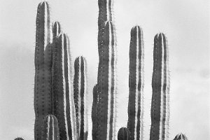 Cactus Black and White Photography