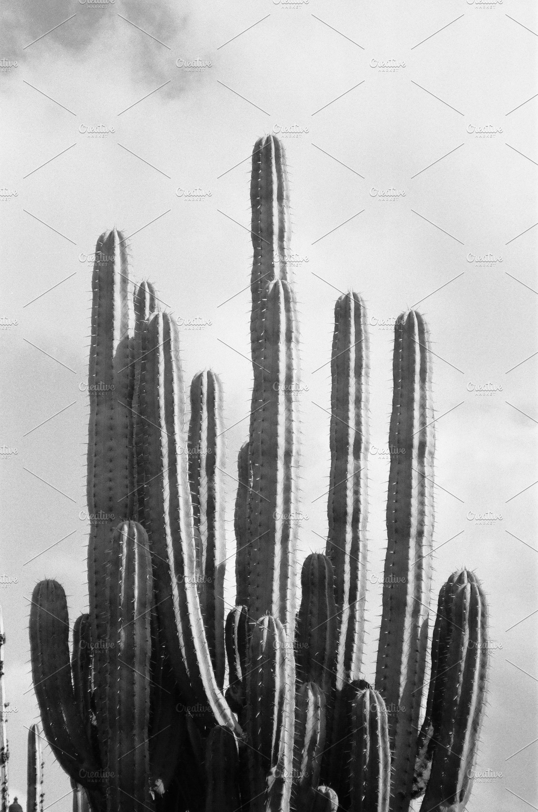 Black And White Cactus Photography