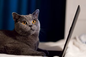 British Shorthair cat working on laptop