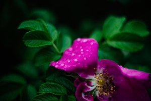 Rain Droplets on Pink Flower