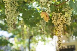 vinyeards