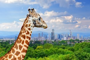Giraffe and city