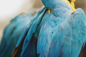 Blue Feathers on Macaws