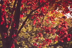 Beauty red tree in autumn forest.