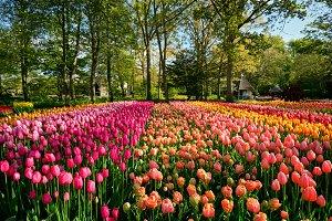 Blooming tulips flowerbed in Keukenhof flower garden, Netherland