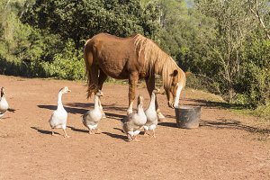 Horses and gooses