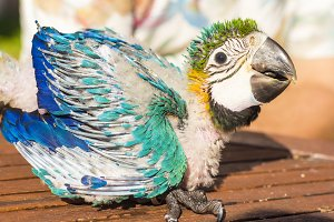 baby macaw