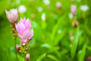 Tulips of Thailand.