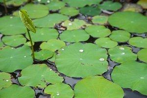 lotus lilies.