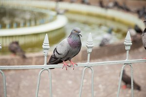 One of Pigeons.