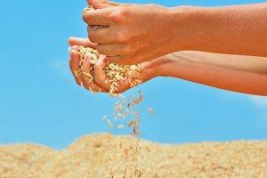 Grains crop in hands