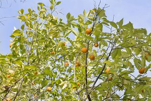 nature oranges hang on branches