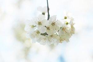 Cherrry blossom