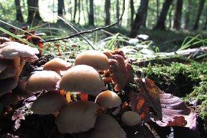 Stump mushrooms