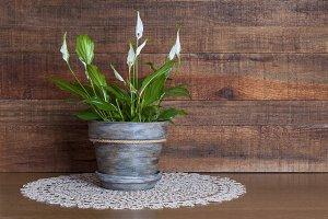 White calla flower in a handmade pot