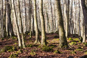 Autumn in the beech forest.