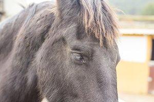 Black blind horse.