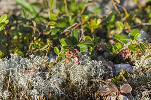 Flowering cowberry.