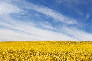 beautiful field of yellow flowers