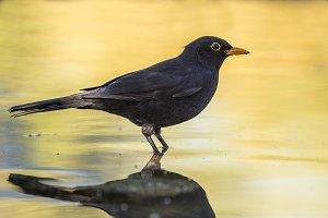 blackbird, Turdus merula