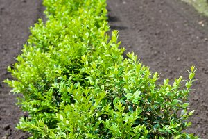 Row of boxwood plants in the nursery