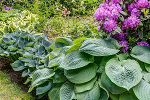 Hosta and rhododendron plants