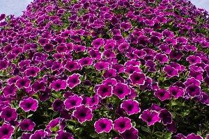 Petunias in flower
