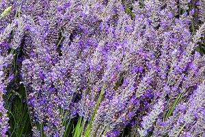 Lavendar flowers and stems