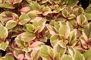 Variegated fuschia plant