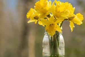 Daffodils in a jar