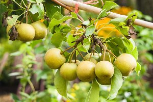 Asian pears on fruit tree