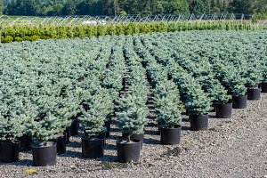 Potted shrubs in nursery