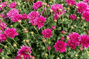 Purple chrysanthemum flowers