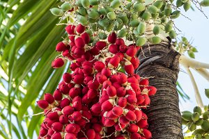Date palm with dates