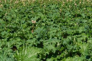 Field of rhubarb