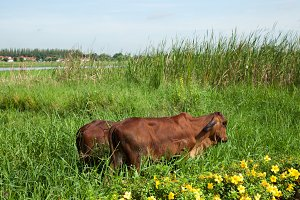 Cows are living grass.