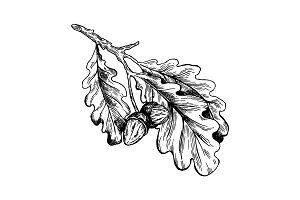 Oak branch with acorns engraving vector